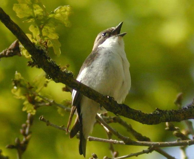R22 : Les oiseaux et la biodiversité face au réchauffement climatique, par R. Julliard et F. Jiguet