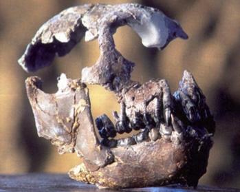 R40 : Les grands singes du Miocène… et d'aujourd'hui, G. Merceron et A. Teyssèdre