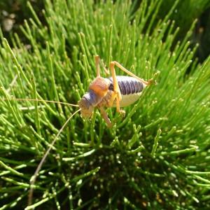 Figure 1: Ephippiger diurnus male - Photo : Alicia Jarrige