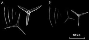 Figure 5. Image Microscope Electronique à Balayage (MEB) des spicules de deux spécimens du genre Plakinastrella. Types de spicules (gauche à droite) : diods, triods, calthropes. A. 141212 SM6CR04. B. 141209 SM1CR02.