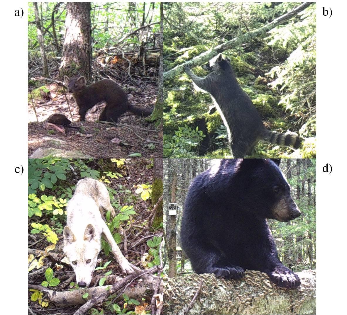 Figure 2. Photos de quatre espèces prédatrices présentent sur l'aire d'étude : a) Martre d'Amérique (Martes americana), b) Raton-laveur commun (Procyon lotor), c) Loup de l'Est (Canis lycaon) et d) l'Ours noir (Ursus americanus).