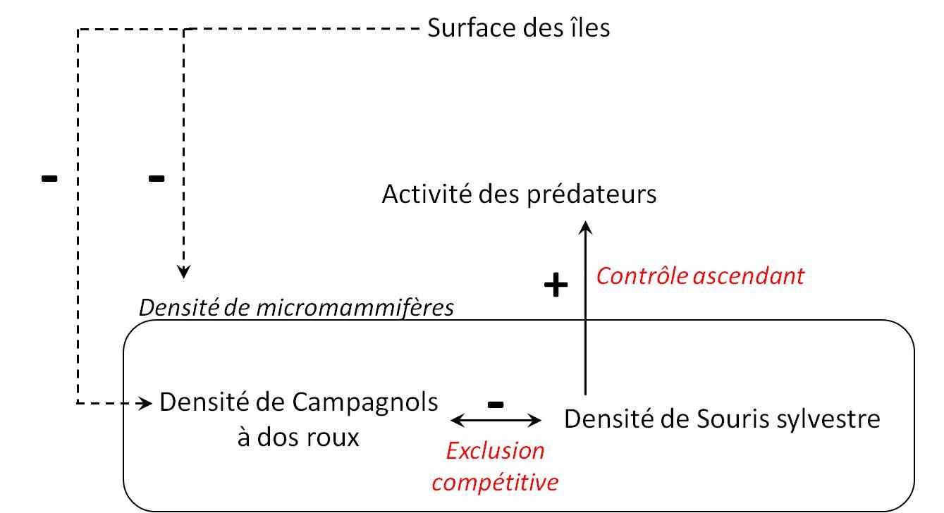 """Figure 6. Schéma récapitulatif des principales relations mise en évidence dans le cadre de cette étude. Le sens des flèches symbolise l'action d'un premier compartiment (point de départ) sur un second compartiment (point d'arrivée). Les flèches pleines représentent les relations significatives et les flèches en pointillés représentent les tendances non-significatives. Enfin les signes """"+"""" et """"-"""" symbolisent le sens de la relation."""