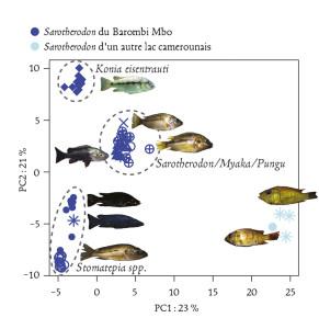 """Fig. 3 : Spéciation écologique chez des cichlidés lacustres ? Le lac volcanique Barombi Mbo, d'origine récente, abrite une guilde de poissons écologiquement et morphologiquement différenciés bien que très proches et appartenant au même genre. Cet """"essaim d'espèces"""", ainsi que celui d'autres lacs similaires, a souvent été pris comme exemple emblématique de spéciation rapide à partir d'une espèce fondatrice unique. Cette figure représente l'éloignement génétique de trois groupes d'espèces du lac relativement à deux espèces du même genre prélevées ailleurs au Cameroun. Dans l'hypothèse d'une différenciation purement sympatrique et sans apport génétique extérieur, ces groupes devraient se différencier dans des directions indépendantes et de manière équidistante par rapport au groupe exté-rieur, ce qui n'est manifestement pas le cas dans cette analyse réalisée sur plusieurs milliers de mar-queurs dispersés dans le génome. Il faut donc faire appel à des scénarios plus compliqués d'hybridation et d'échanges génétiques entre pools géniques préalablement différenciés pour expliquer cette différen-ciation """"intra-lac"""", ou au moins son initiation (d'après Martin et al. 2015)."""