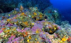 Figure 3 : Algues corallines constructrices de récifs coralligènes © Florian Holon
