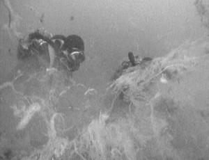 Plongeur au droit du rejet d'eaux usées de Cap Sicié, 1988. Le premier plan montre un tapis d'algues filamenteuses soulevées par le plongeur pour prélever le sédiment marin du fond. © Institut Océanographique Ricard