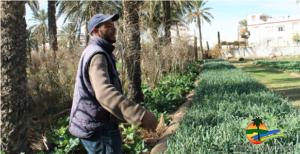Agriculture bio en Tunisie. (c) Association de Sauvegarde de l'Oasis de Chenini - ASOC