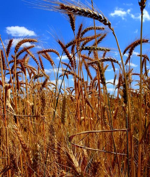 Champ de blé © Sébastien Barot Les pieds de blé sont en compétition pour la lumière et les ressources du sol. L'homme a sélectionné des variétés produisant la quantité optimale de racine et de surface foliaire pour optimiser la production de grains.