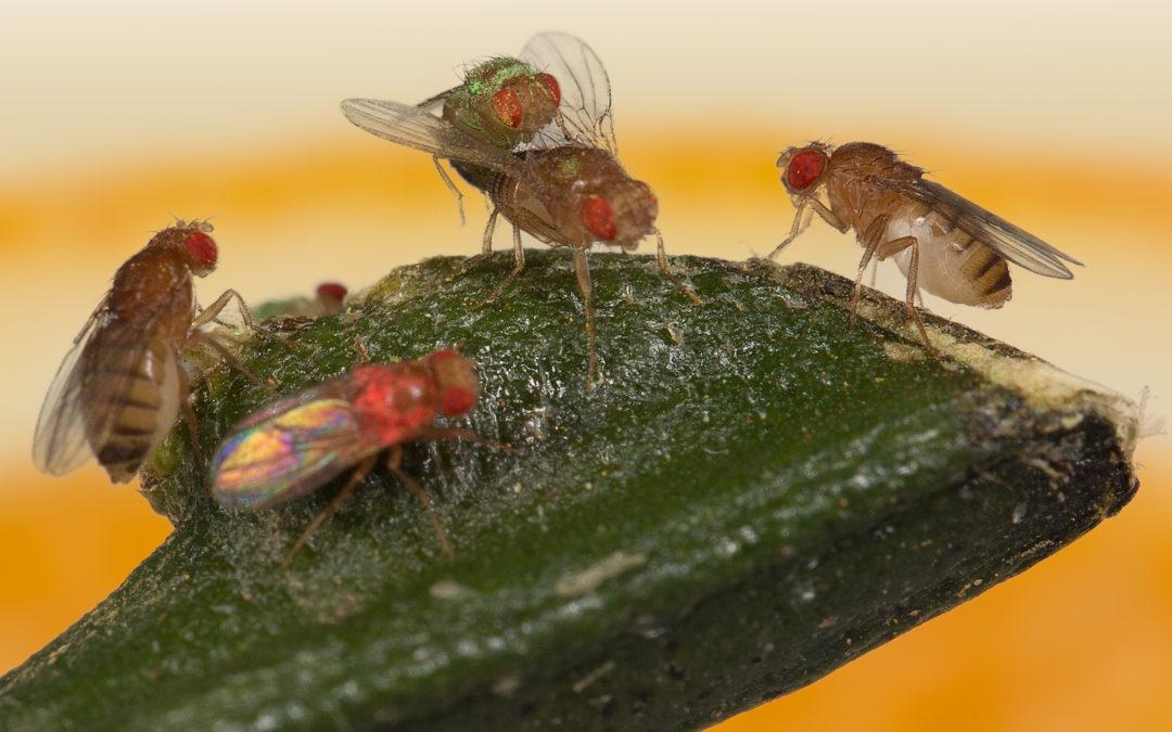 R91 : Culture et sélection sexuelle chez la mouche du fruit, par Etienne Danchin